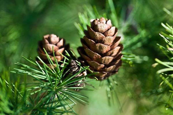 Nåletræer – et undervisningsmateriale til naturteknologi mellemtrin