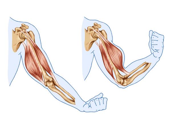 Muskler – et undervisningsmateriale til naturteknologi mellemtrin
