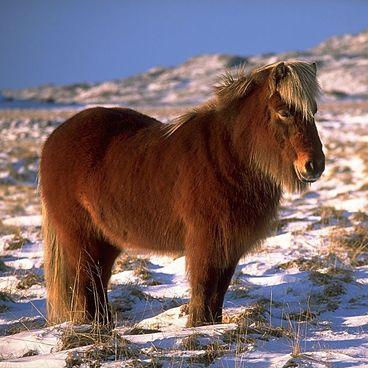 Den islandske hest