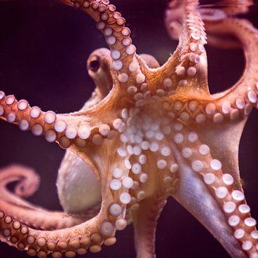 Kæmpeblæksprutter
