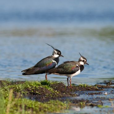 Vadehavets fugle